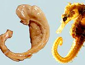 L'hippocampe et la régénération des dents par le cerveau ? par Michèle Caffin, spécialiste du décryptage dentaire holistique