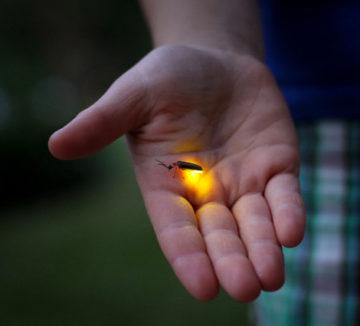 La luciole, le phosphore et l'émail dentaire ?